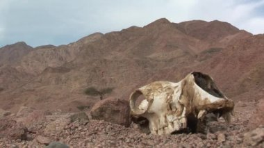 Camel skull and bones — Stock Video