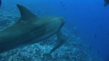 Three dolphins swim — Stock Video