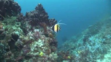 Moorish idols cruising the reef — Стоковое видео