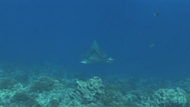 Eagle rays cruising on the reef — Wideo stockowe