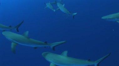 Grey reefsharks  around bait — Stock Video