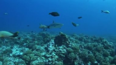 Reefshark approaches and pass by — Stock Video