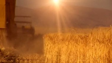 Combine on the wheat field — Stok video