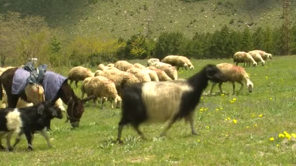Goats on the green field — Vídeo de stock