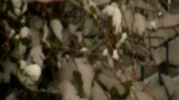 Branches d'arbre couvert de neige — Vidéo
