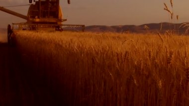 Combine-harvester on the wheat field — Stock Video