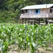 ������, ������: Small farm on river island of Amazon