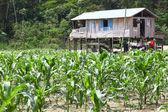 Small farm on river island of Amazon — Stock Photo