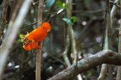 Guianan Cock-of-the-rock — Stock Photo