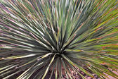 Agave leaves in backlight — Stock Photo
