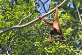 Monkey hanging by tail on tree — Stock Photo
