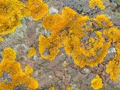 Yellow lichen on grey rock — Stock Photo