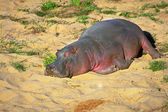 Gray and pink hippo on sand — Stock Photo