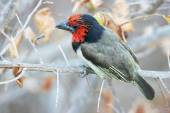 Black-collared barbet sitting on branch — Stock Photo