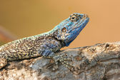 Blue Agama laying on stone — Stock Photo