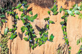 Large flock of parrots eating clay — Stock Photo