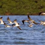 Flock of Black Skimmers flying — Stock Photo #77388416