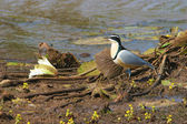 Egyptian plover on river bank — Stock Photo
