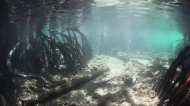 Prop roots descend from mangrove trees — Stock Video