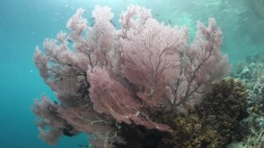 Large gorgonian grows in shallow water — Stock Video