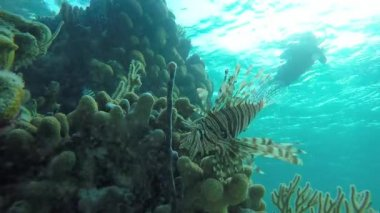 Lionfish hunts small fish on a coral reef — Stock Video