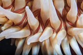 Detail of the tentacles of A Fish-eating anemone — Stock Photo