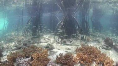 Bait fish school among prop roots — Stock Video
