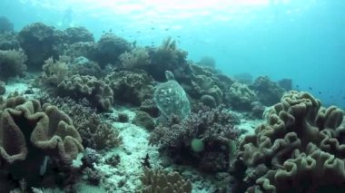 Hawksbill turtle swimming over a coral reef — Stock video