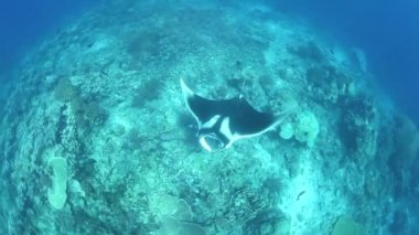 Manta ray swims over a shallow coral reef — Stock Video