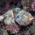 Juvenile scorpionfish uses effective camouflage — Stock Photo #72118201