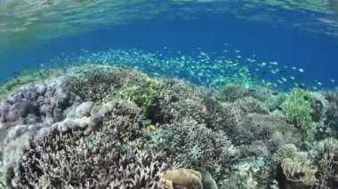 Blue-green damselfish swarm above a coral reef — Stock Video