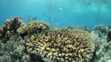 Small reef fish hover above a coral colony — Stock Video