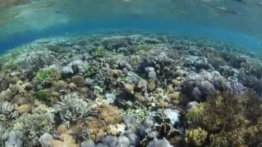 Variety of corals grow in just centimeters of water — Stock Video