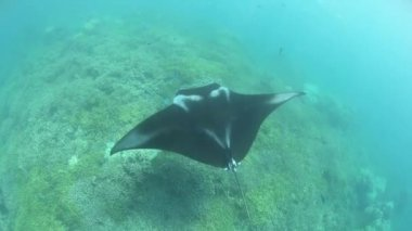 A Manta ray swims on a shallow reef — Stock Video