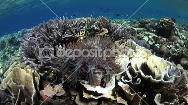 Crown of Thorns Starfish — Stock Video