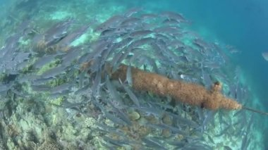Bigeye Jacks swarm around a coral-laden mooring rope — Stock Video