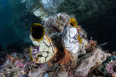 Large tunicates grow on a coral reef — Stock Photo