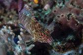 在珊瑚礁上的精灵 hawkfish — 图库照片