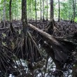 The massive prop roots of a mangrove forest — Stock Photo #76743009