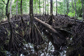 The massive prop roots of a mangrove forest — Stock Photo