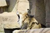 Esneme aslan — Stok fotoğraf