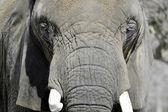 ELEPHANT SAYS CHEESE — Stock Photo