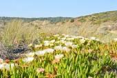 Algarve: Dunes with Carpobrotus edulis plants, Costa Vicentina Portugal — Stock Photo
