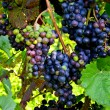 Red wine: Vine with grapes before vintage - harvest, Southern Styria Austria — Stock Photo #76888551
