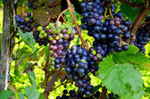 Red wine: Vine with grapes before vintage - harvest, Southern Styria Austria — Stock Photo