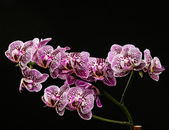 Pink Variegated Moth Orchid Flowers — Stock Photo