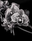Schwarz und weiß-Orchidee blüht — Stockfoto
