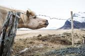Curious Icelandic Horse — Stockfoto