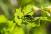 Orange beetle on the green leaves macro photography — Stock Photo