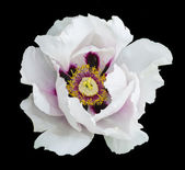 White peony flower macro photography — Stock Photo